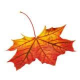 槭树叶子被隔绝在白色 免版税库存图片