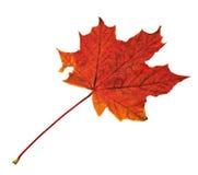 槭树叶子被隔绝在白色 库存照片