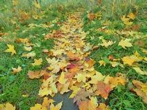 槭树叶子足迹 库存图片
