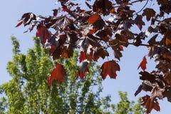 槭树叶子,关闭 免版税图库摄影