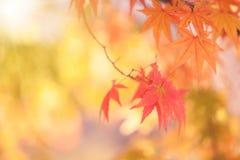 槭树叶子,抽象背景[软的焦点] 免版税库存图片