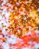 槭树叶子,日本秋天季节 免版税库存照片