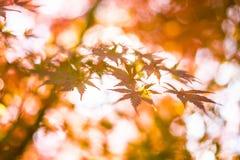 槭树叶子,日本秋天季节 库存图片
