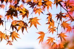槭树叶子,日本秋天季节 免版税库存图片