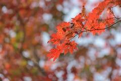 槭树叶子,秋天抽象背景[软的焦点] 免版税库存图片