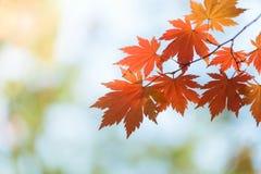槭树叶子,秋天抽象背景[软的焦点] 库存照片