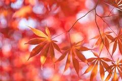 槭树叶子,秋天抽象背景[软的焦点] 图库摄影