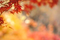 槭树叶子,秋天抽象背景[软的焦点] 免版税库存照片