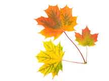 槭树叶子 免版税库存照片
