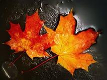 槭树叶子 免版税图库摄影