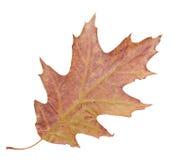 槭树叶子 库存图片