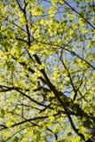 年轻槭树叶子 图库摄影