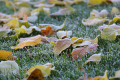 冻槭树叶子 免版税库存图片