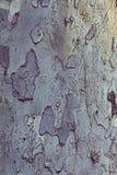 槭树吠声 库存图片