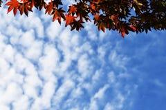 槭树和天空蔚蓝与云彩 图库摄影