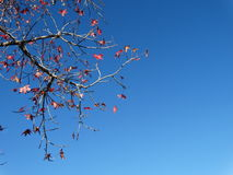 槭树和天空 库存图片