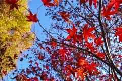 槭树和天空 库存照片