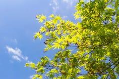 槭树和果子在蓝天背景 库存图片