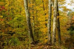 槭树和桦树森林,秋天 免版税库存图片