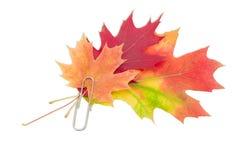 槭树和橡木叶子,紧固由一个纸夹 免版税库存照片