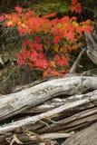 槭树和漂流木头日志的红色叶子 库存图片