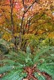 槭树和蕨 库存照片