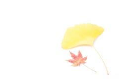 槭树和银杏树叶子  库存图片