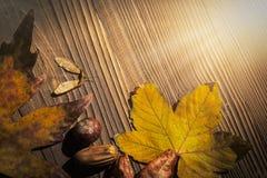 槭树和koelreuteria paniculata叶子,枫树种子,马胸口 免版税库存图片