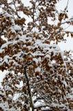 槭树在一个公园在冬天 库存照片