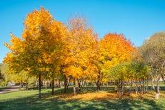 槭树在公园在秋天 免版税库存照片
