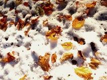 槭树在冷淡的地面上离开在冬天 秋天冷淡的叶子 图库摄影