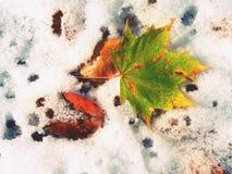 槭树在冷淡的地面上离开在冬天 秋天冷淡的叶子 免版税库存照片