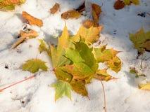 槭树在冷淡的地面上离开在冬天 秋天冷淡的叶子 免版税库存图片