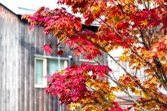 槭树在天空背景在秋天季节,槭树叶子的分支树转向红色,阳光正是季节的变动,日本 免版税库存图片