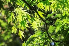 槭树在春天 免版税库存图片