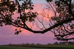 槭树在晚上;玉米的领域在背景中 免版税库存照片