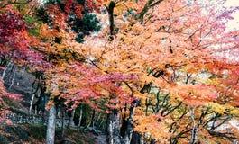 槭树在森林里 库存照片
