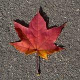 槭树在沥青背景的红色叶子 纹理,背景 库存照片