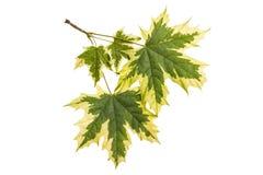 槭树在白色背景留下Acer platanoides Drummondii 库存照片