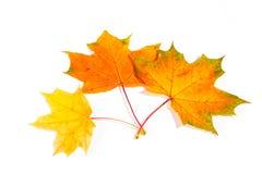 槭树在白色背景隔绝的秋叶 免版税库存照片