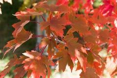 槭树在秋天把变成留在美好的颜色 库存图片