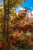槭树在秋天把改变的充满活力的颜色留在 免版税库存图片