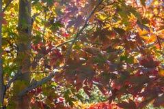 槭树在秋天把改变的灿烂的颜色留在 免版税库存图片