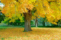 槭树在秋天的流洒叶子 库存照片