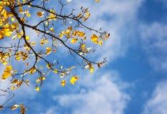 槭树在秋天离开在蓝天背景 库存图片