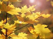 槭树在秋天 库存照片