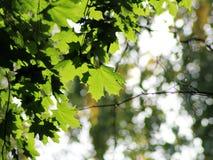 槭树在秋天 库存图片