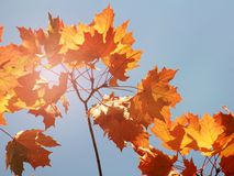 槭树在秋天 免版税图库摄影