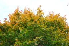 槭树在秋天 免版税库存图片