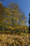 槭树在秋天 免版税库存照片